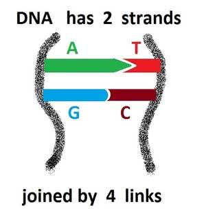 DNA _ 1